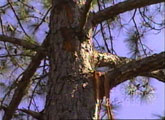 [ Areas of exploded bark hang from tree limbs. ]