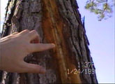 [ A closer shot of the thin channel that the lightning dug into the tree circumference. ]