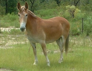 Draft mules result from breedinga jack mule to a draft horse mare ...